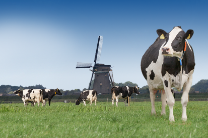 Article image - Holland farms: The home of high-quality milk - cows on a field with a windmill in the background